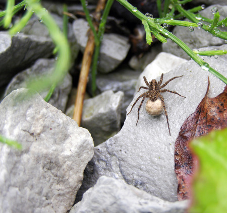 wolf spider: female wolf spider with cocoon on a wet gray stone after rain Stock Photo