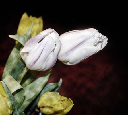 burgundy background: White and yellow tulips on a dark burgundy background, photo toned with texture mapping