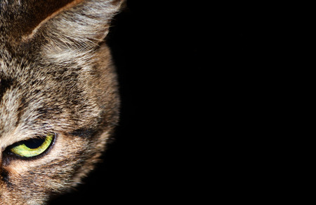 Half cat muzzle with yellow-green eye on a black background Stock Photo