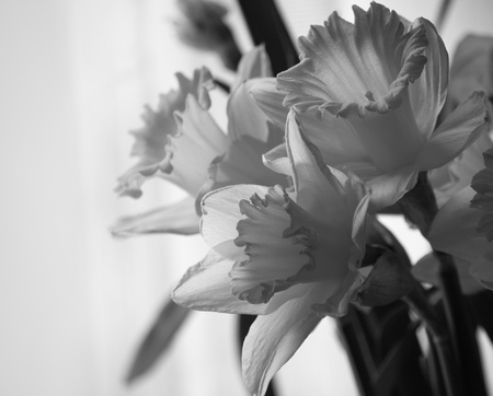Bouquet of beautiful daffodils, close up. Black and white toning