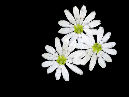 imitations: Three white flowers on a black background. Imitation of watercolor Stock Photo