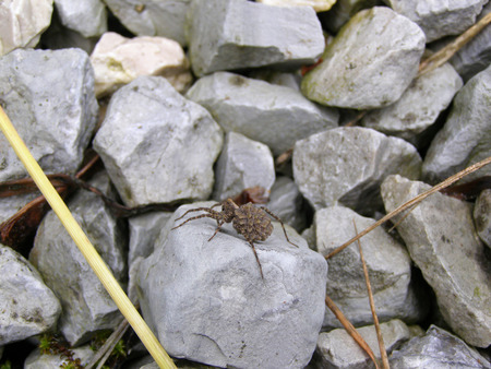 A female wolf spider with spiderlings on the stone Stock Photo