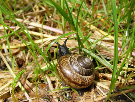 Edible snail (Helix pomatia) crawling in the grass