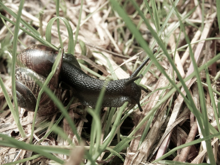 Edible snail (Helix pomatia) crawling in the grass. Photo toned, soft colors