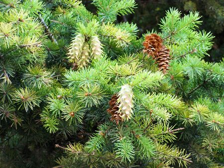 Green fir branch with young cones, close-up