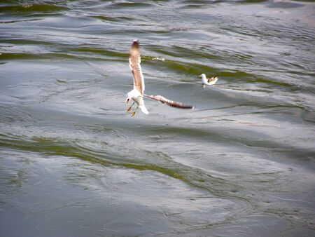Seagull over the water with an open beak hunts fish Banque d'images