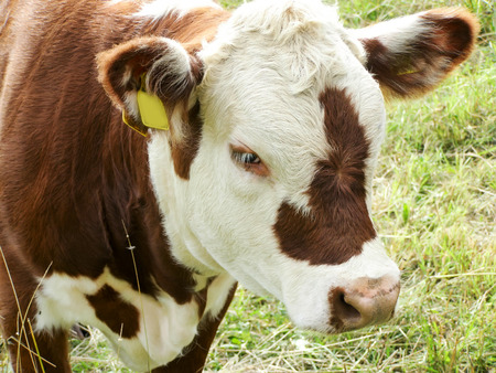 Brown cow with white muzzle. Hereford cattle. Close up Stock Photo