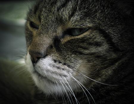 Cats muzzle close up. Photo toned in dark shades Stock Photo