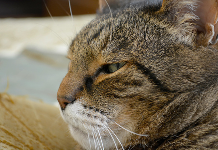 Muzzle of a tabby cat in profile, close up