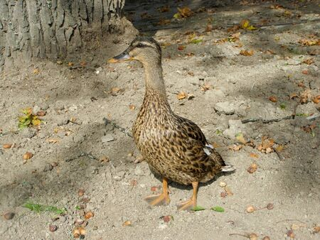 Duck stands on the ground with his neck stretched out