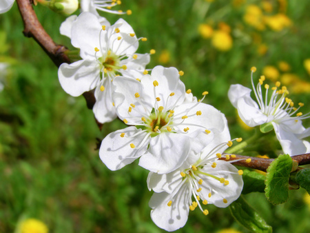 Spring bloom. White cherry flowers on the branch.