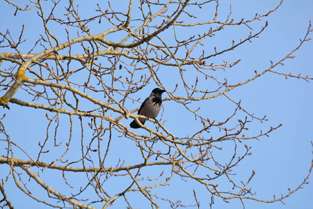 Hooded crow on the bare branches of a tree Imagens
