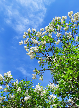 Blooming white lilac and bright blue sky.