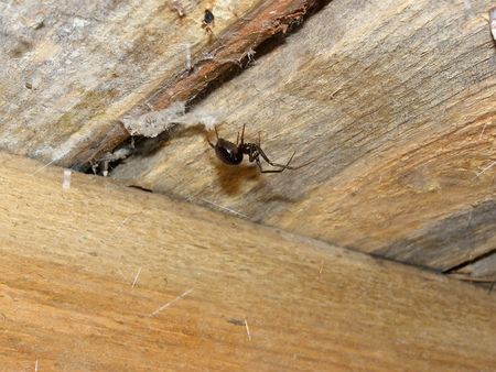 Brown home spider on a wooden ceiling. Steatoda grossa