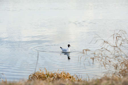 Black headed gull swim on calm water.