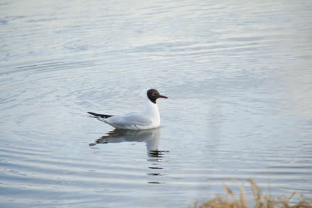 Young black headed gull swim on calm water.