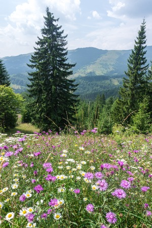 Blooming meadow on a background of forested mountains Stock Photo