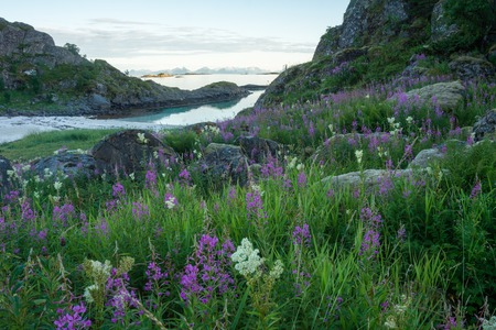 odorous: Flowering herbs and stones covered with moss on sandy beach, Lofoten, Norway