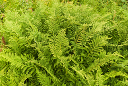 Green leaves of the fern. A fern via spores and have neither seeds nor flowers