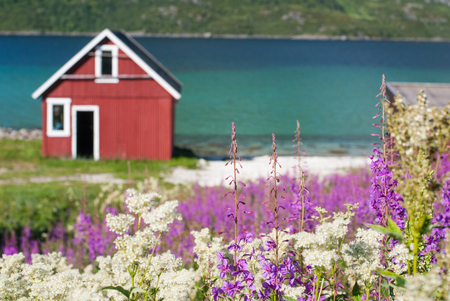 Fishing house on the shore of the blue gulf among flowering herbs, Lofoten, Norway Stock Photo