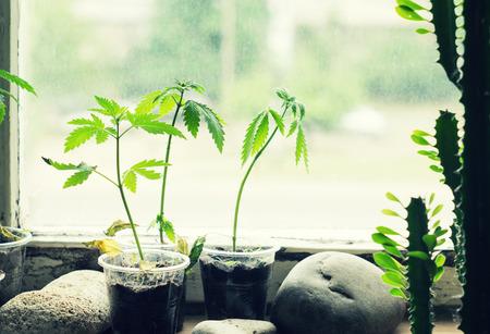 Seedlings of hemp on the windowsill Фото со стока