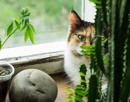 Cat on windowsill, hemp plant and cactus