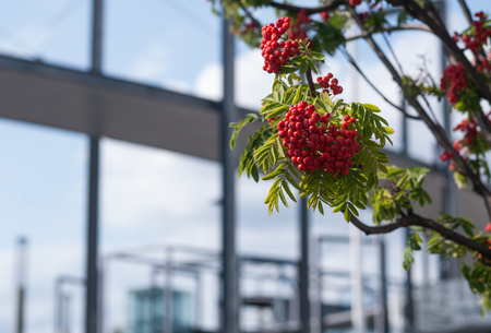 Bunches of red rowan on a background of a modern building Stock Photo