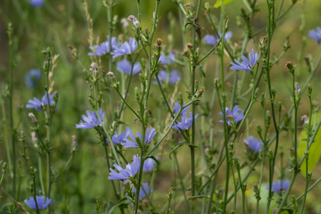 Flowers of blooming chicory. Root chicory is  coffee substitute
