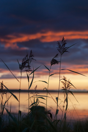 Inflorescence of reed on the lake at dawn