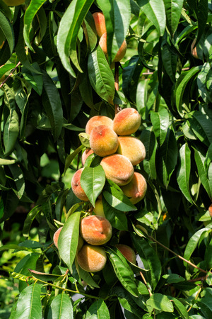 Harvest of ripe peaches on a tree