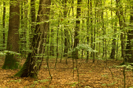 Beech forest, the main forest-forming species of Europe