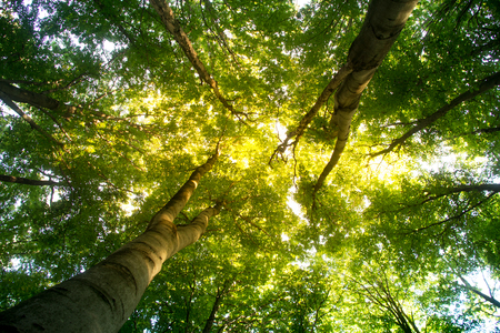 Beech forest. Beech is a deciduous tree, the main forest-forming species of European forests