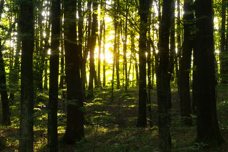 Beech forest on sunset. Beech is a deciduous tree, the main forest-forming species of European forests