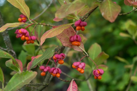 Berries of European spindle, Euonymus europaeus, is a deciduous shrub or small tree. Native to forests of Europe Фото со стока