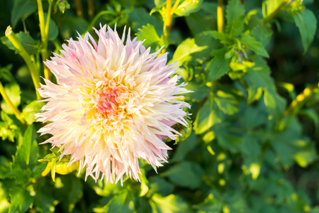 Multi-colored yellow pink dahlia flower on the bush, closeup Imagens