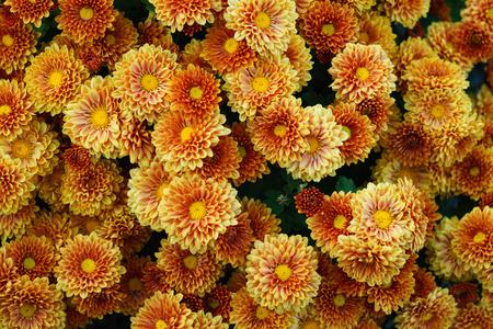 Backgroud small flowers yellow orange chrysanthemum. Close-up
