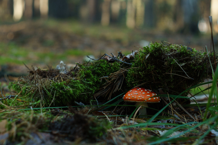 Red fly agaric in green moss in the forest