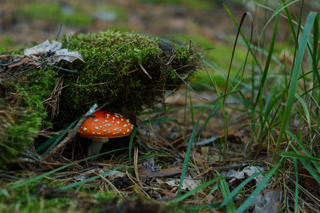 Poisonous red mushroom fly agaric in green moss in the forest 写真素材