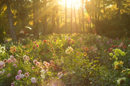 Multi-colored dahlias on a flower bed in the rays of the setting sun