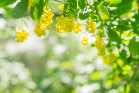Yellow inflorescences on the barberry bush