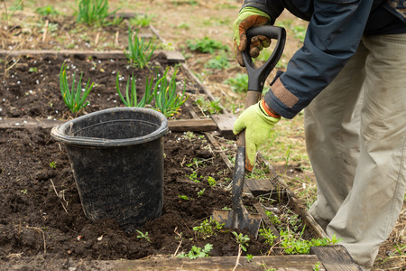 A man is digging a shovel soil in the garden in spring