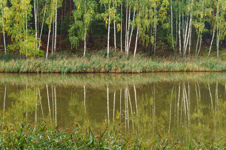 Birch trees and reeds reflected in the calm water of a forest lake Фото со стока