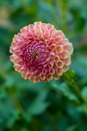 Multi-colored yellow pink dahlia flower on the bush, closeup 免版税图像