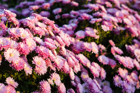 Small flowers of pink chrysanthemums. Background, close-up Imagens