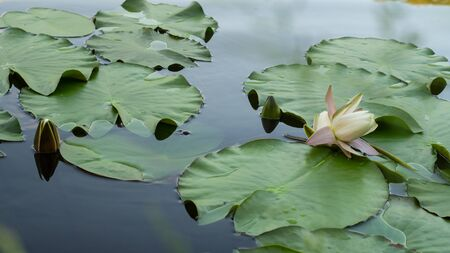 Leaves and flowers of Nymphaea on the water surface of the lake. It is a genus of aquatic plants