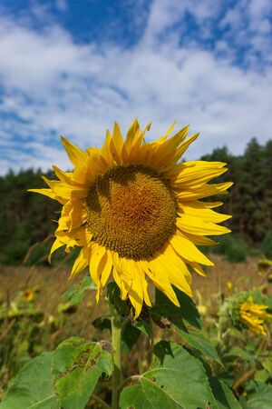 Heads of sunflowers on a field against a blue sky Stock Photo