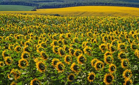Agriculture. Growing sunflowers on the field. Vegetable oil source Stock Photo