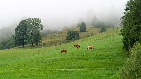 Cows graze in an alpine meadow with fresh green grass in the morning fog 스톡 콘텐츠 - 130073568
