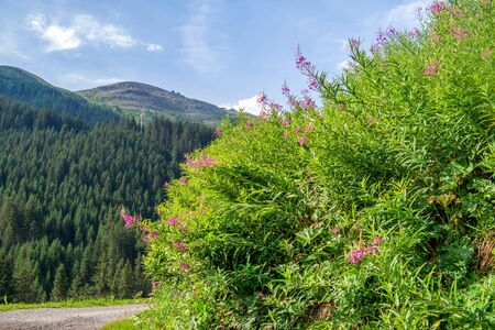 Flowering shrubs of willowherb on a background of forested mountains