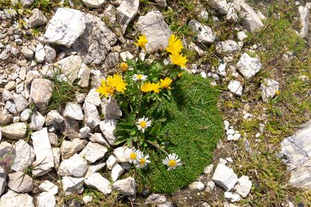 Low-growing flowering alpine plants on mountain rocky ground 版權商用圖片